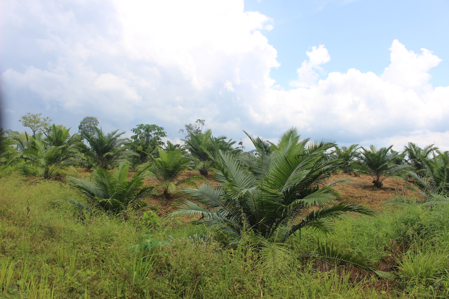 Another recently established oil palm plantation in a community in the parish of Nuevo Paraíso. Photo by Daniela Aguilar