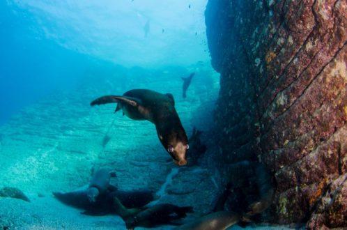 Muchas veces los lobos marinos compiten por alimento con los pescadores. .Foto de Leonardo Gonzalez