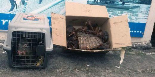 Tras una inspección de lanchas en el río Napo, a la altura de la comunidad de Pompeya, la Armada decomisó el 16 de abril pasado 15 libras de huangana, guanta y caimán, y un ejemplar vivo de mono varizo. Foto: Armada Ecuador