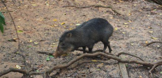 Animales silvestres como la huangana viven en el Zoológico de Orellana. Foto: Daniela Aguilar