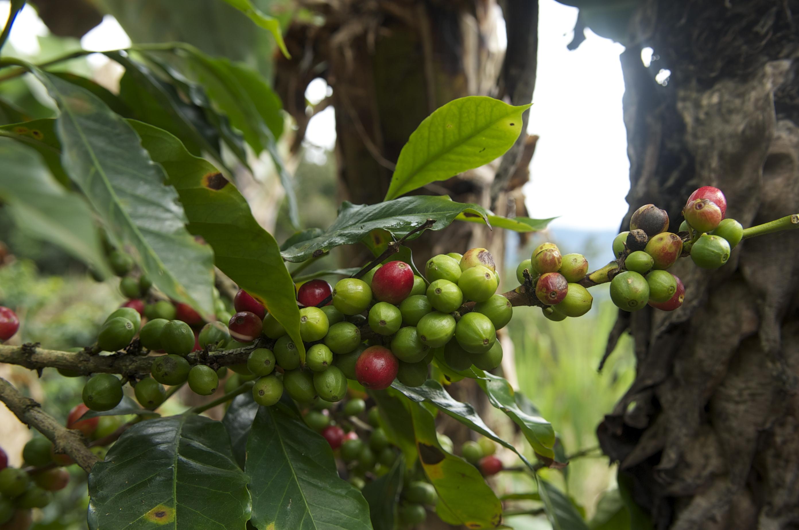 Los cultivos de café han permitido la recuperación de espacios degradados, que se han transformado en refugios para las aves. Foto: Mongabay Latam.