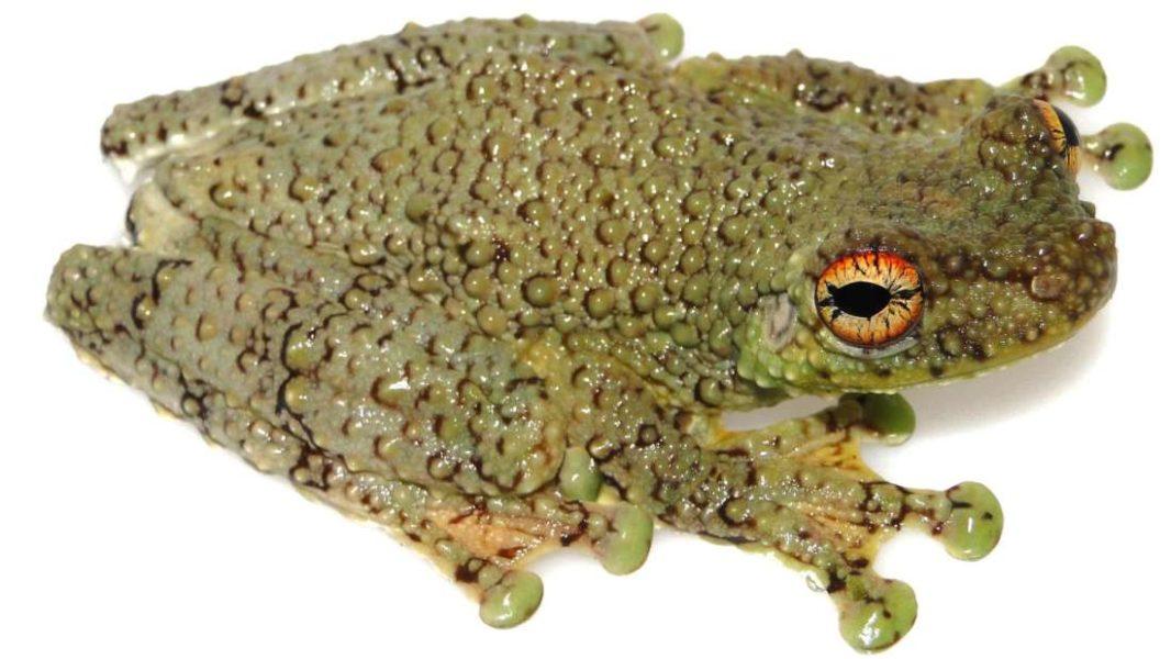 tree-frog-tepuhyla-shushupe