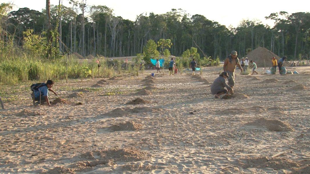 Experimento de reforestación en Manuani, en La Pampa, zona de amortiguamiento de la Reserva Nacional de Tambopata. Foto: Román-Dañobeytia et al. 2015.