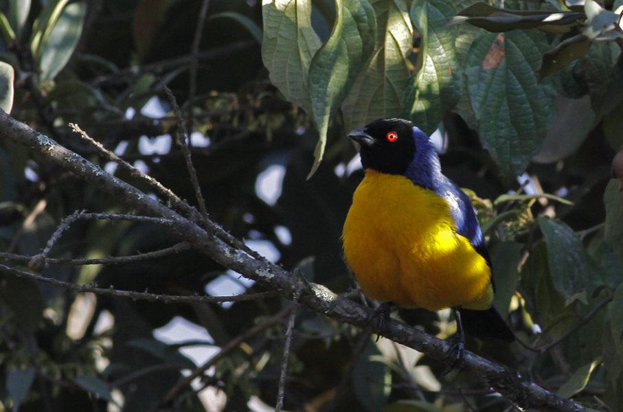 Capucha guangara, otra especie de ave del ACP Wayqecha. Foto: Fernández Díaz Formentí/ACCA.