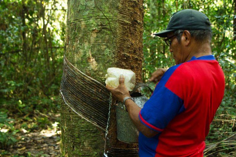 En los shiringales de Iberia un trabajador extrae alrededor de 25 litros de látex por día de una plantación que puede contener 120 árboles. Foto de Pablo Merino.
