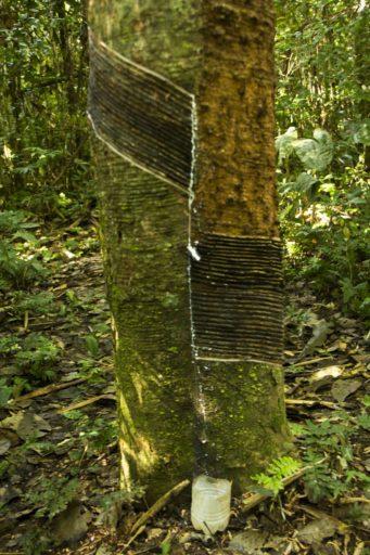 """""""Si lo tratas con cuidado un árbol de shiringa puede producir todo el tiempo y así y todo nos va a sobrevivir"""", Eduardo Escompani, fundador de la empresa comunal Ecomusa. Foto de Pablo Merino."""