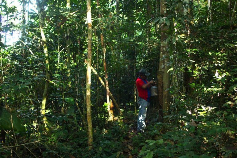La shiringa crece asociada a especies forestales de interés comercial como la catahua, el sapote, la achihua, la castaña, la lupuna, el shihuahuaco y el pashaco. Foto de Pablo Merino.