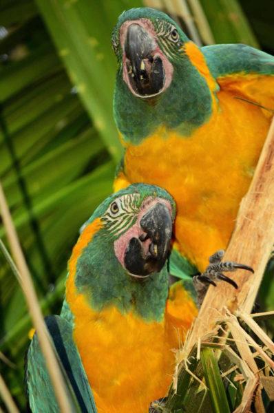 Guacamayos barba azul sobre palmera. Foto: Eduardo Franco Berton.