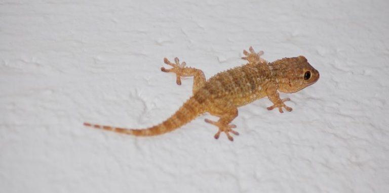 El gecko común habría llegado a Colombia en cargamentos de madera. Foto de Finkeros.