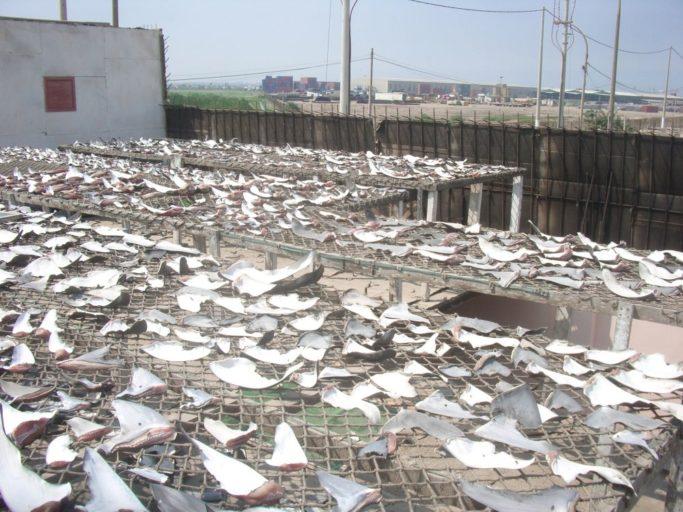 Secadero de aletas de tiburón en el Callao en el año 2007. Foto de Oceana