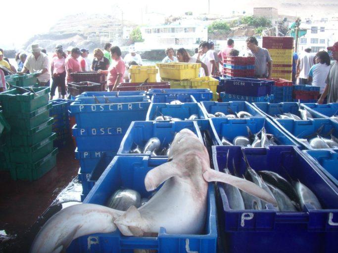 Tiburón azul en el mercado de Pucusana, al sur de Lima. Año 2007. Foto de Oceana