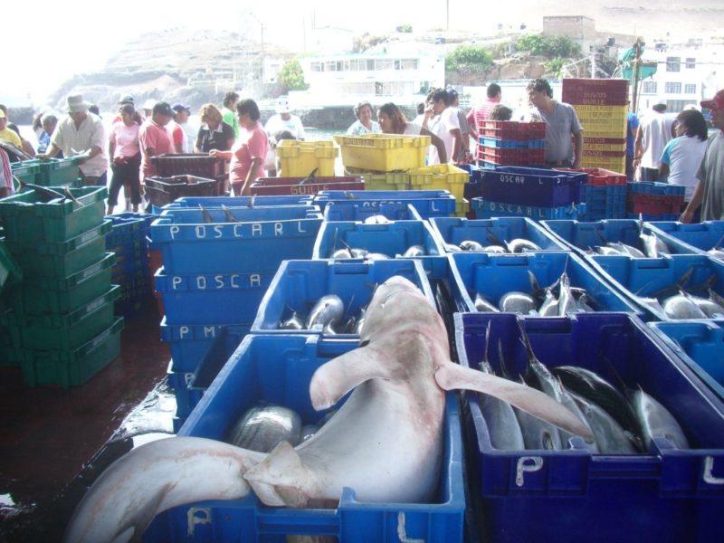 Tiburón azul en el mercado de Pucusana, al sur de Lima. Foto: Oceana.