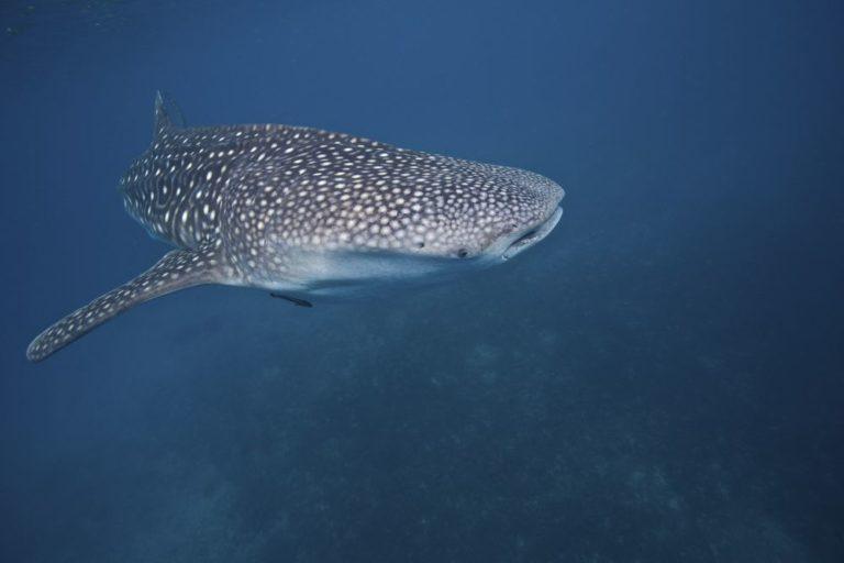 Tiburón ballena. Foto de SteveDeNeef / Oceana
