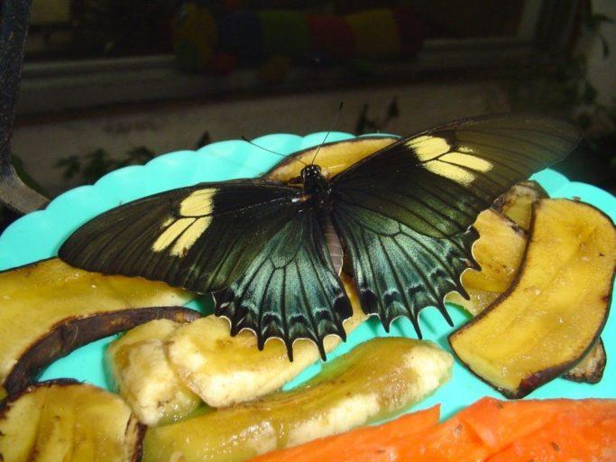 Mariposa alimentándose. Foto de Alas de Colombia.