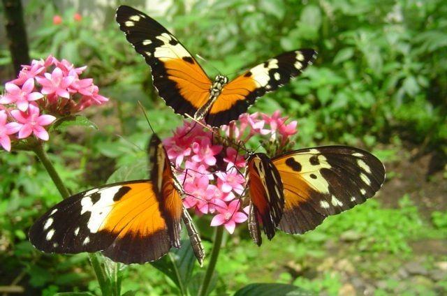 Mariposa hecales. Foto de Alas de Colombia.