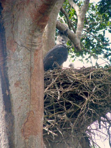 Águila haría anida en un shihuahuaco. Foto: Cortesía Antonio Fernandini.
