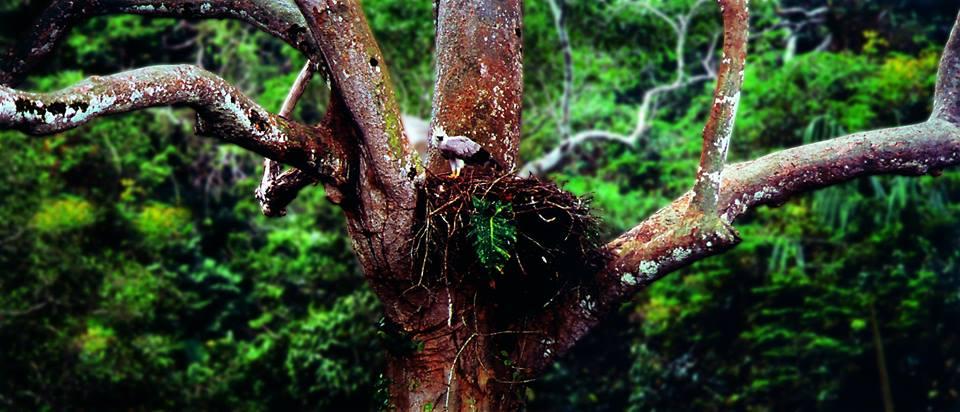 El shihuahuaco es un árbol utilizado para anidación por especies amenazadas como la águila harpía. Foto: Cortesía Antonio Fernandini.