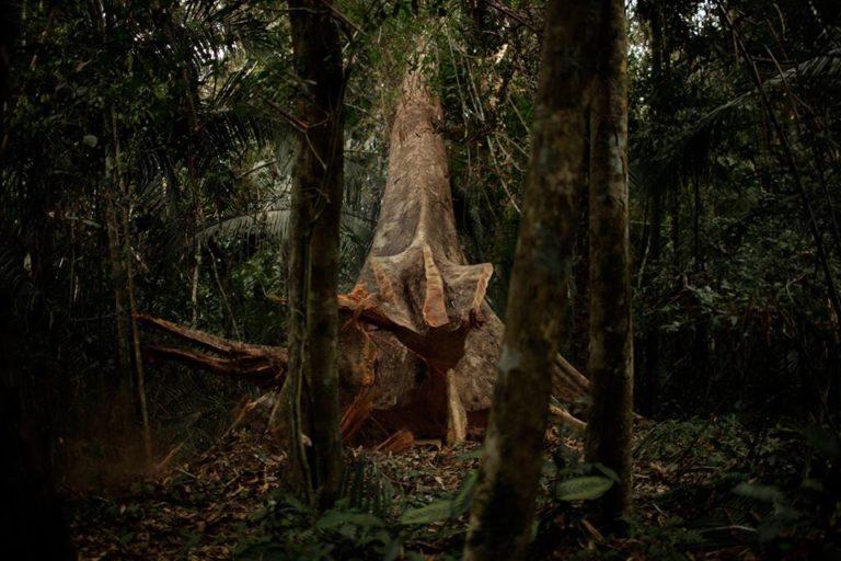Especie forestal shihuahuaco. Foto: Cortesía Antonio Fernandini.