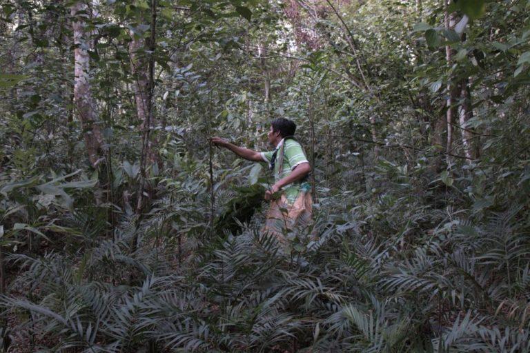 Las comunidades forestales comercializan también otros productos de la selva como el xate, una planta ornamental que se exporta principalmente a Estados Unidos. Gracias a esto consiguen trabajo durante todo el año. Foto de Joaquín Ruano Cofiño.