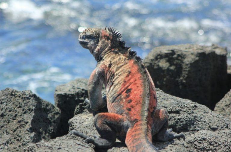 La iguana marina (Amblyrhynchus cristatus), la única especie de lagarto marino del mundo, es endémica de Galápagos y se encuentra en condición de vulnerabilidad de acuerdo a la Unión Internacional para la Conservación de la Naturaleza. Fotografía de Gabriela Erazo / WWF-Ecuador.