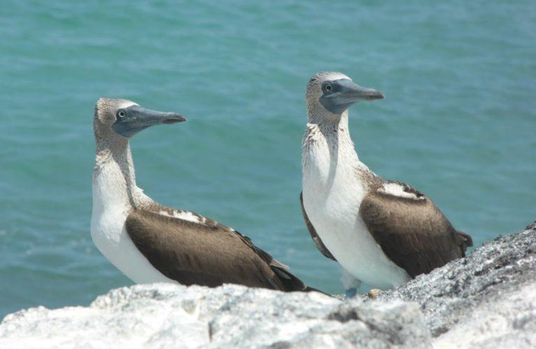 En Galápagos habitan aves endémicas, a veces poblaciones muy pequeñas en una sola isla del archipiélago, por lo que el problema de las especies invasoras es bastante grave. Fotografía: Gabriela Erazo / WWF-Ecuador