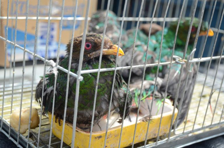 Aves encontradas en el momento de la intervención policial. Foto: Serfor.