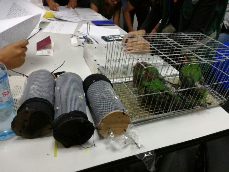 Los tubos de tela y pequeñas jaulas fueron usadas para el tráfico de estas especies. Foto: Serfor.