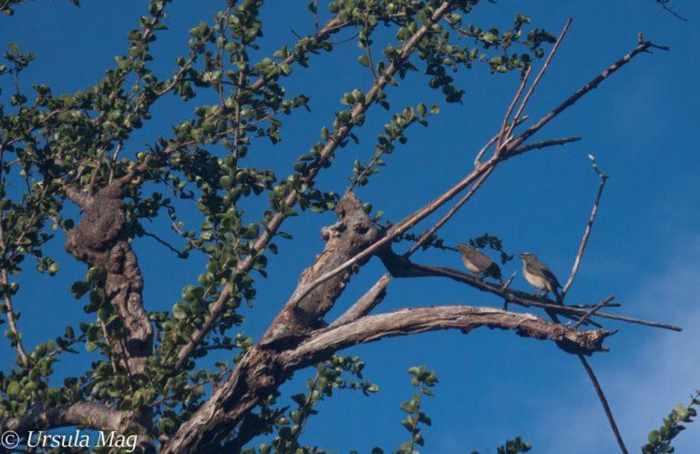 Dos pájaros papayeros descansan en lo alto de un árbol guamacho en Taganga. Foto de Úrsula Martínez.