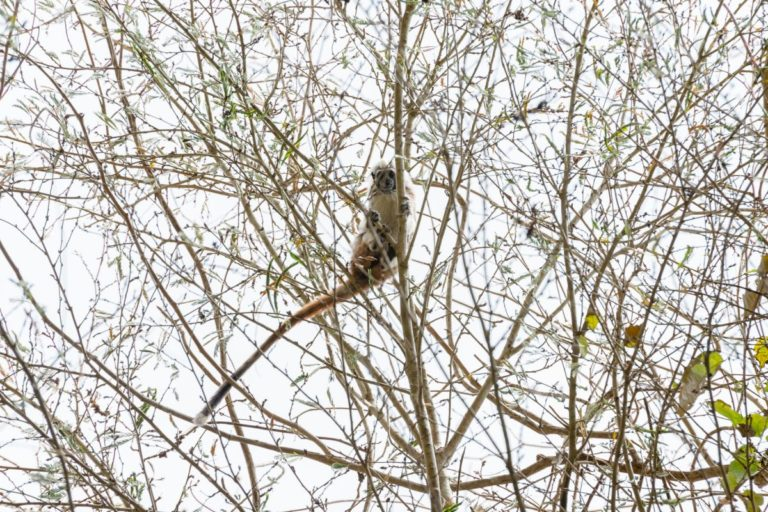 Mono tití cabeza blanca, también llamado tamarino cabeza de algodón, especie endémica del Caribe colombiano, habita el bosque seco tropical. Foto de Felipe Villegas, Instituto Humboldt.