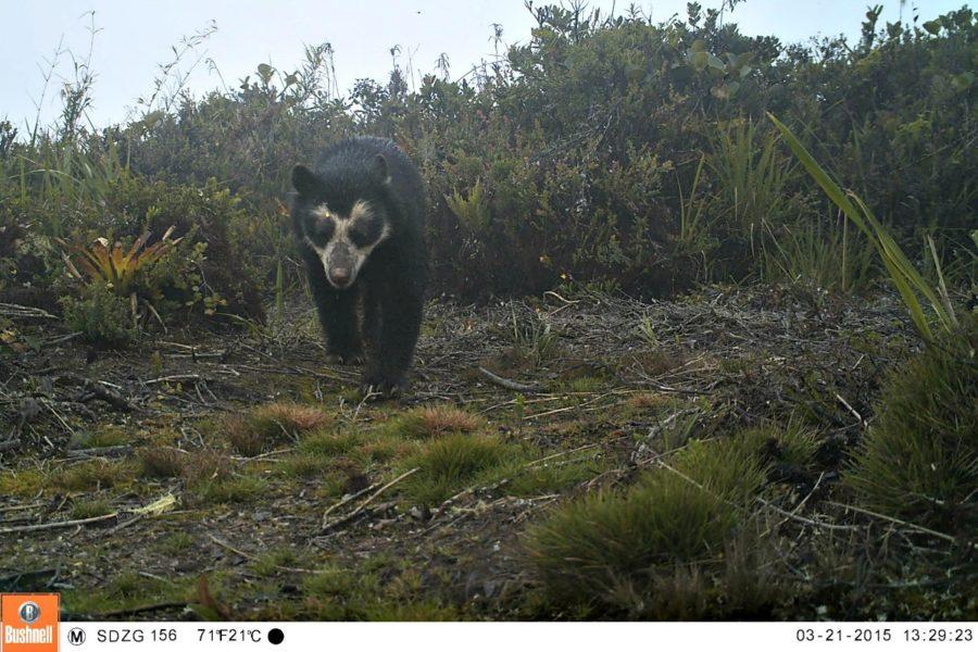 Imagen capturada por cámara trampa. Foto: WWF Perú.