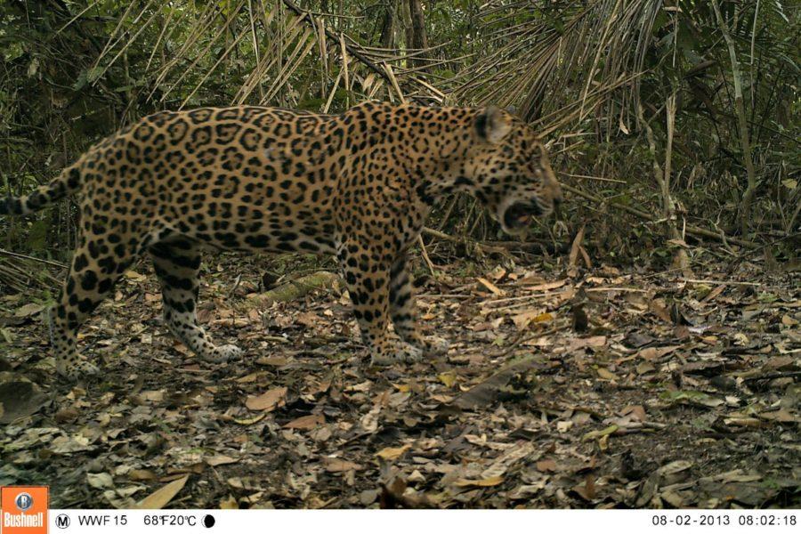 Imagen de un otorongo en cámara trampa. Foto: WWF Perú.