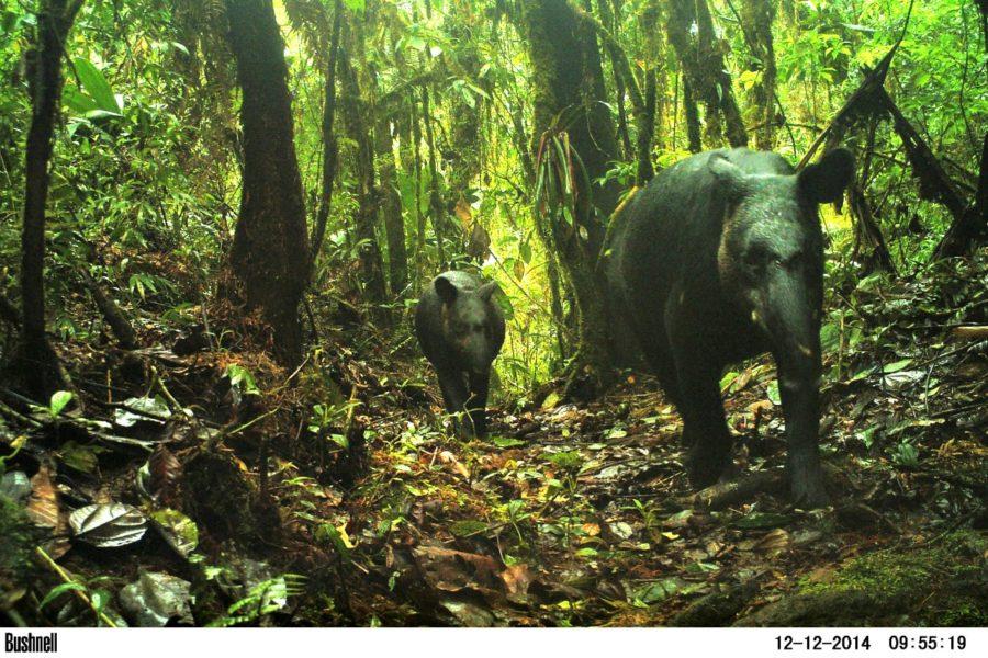 Imagen de un tapir. Foto: WWF Perú.