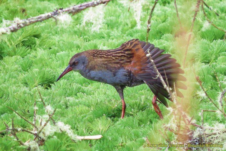 Tingua bogotana (Rallus semiplumbeus). Foto de Oswaldo Cortés.