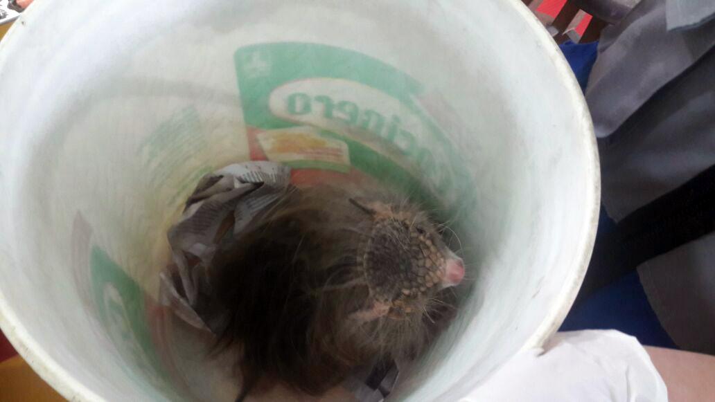 Quirquincho dentro de un balde. Foto: Serfor.