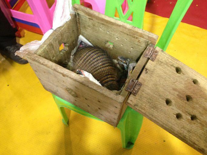 Un armadillo es descubierto en una caja de madera durante un operativo de las autoridades peruanas. Foto: Serfor.