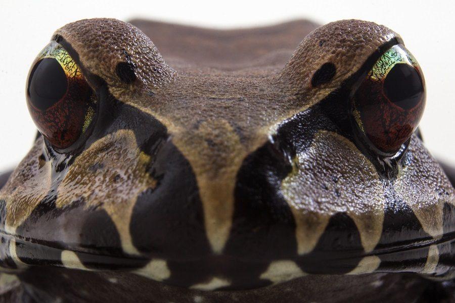 Rana comepollos (Leptodactylus pentdadactylus). Foto: Crees Foundation / Marcus Brent-smith.