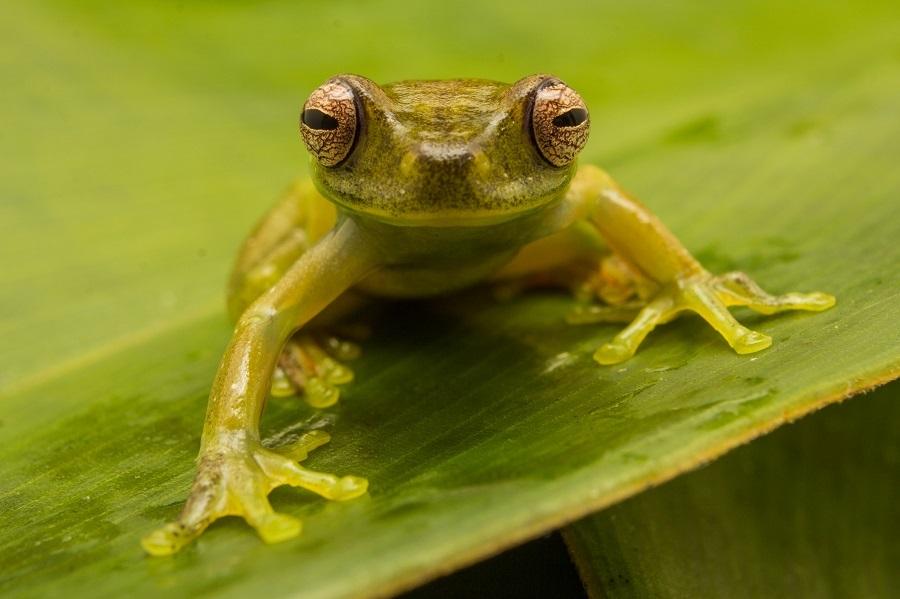 Rana de torrente de Roque (Hyloscirtus aff. Phyllognathus). Foto: Crees Foundation / Jack Mortimer