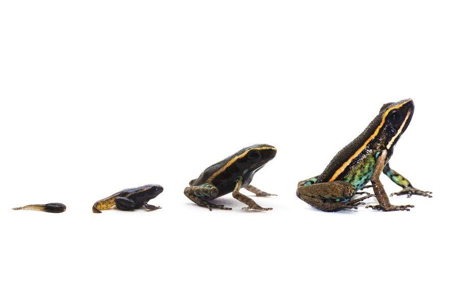 Una especie nueva para la ciencia fue descubierta por el equipo de investigación dentro del Manu Learning Center y ha sido recientemente descrita por Jennifer Serrano Rojas. En la foto está la Ranita venenosa de Amarakaeri (Ameerega shihuemoy). Foto: Crees Foundation / Marcus Brent-smith.