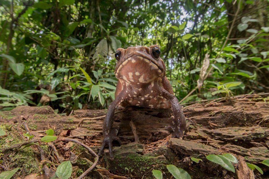 Sapo gigante de Cuyabeno (Rhaebo guttatus). Foto: Crees Foundation / Jack Mortimer.