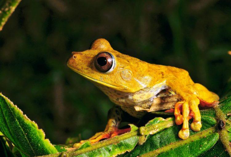 Rana geográfica, Hypsiboas geographicus. Foto de Michell León, Apeco, WWF Perú