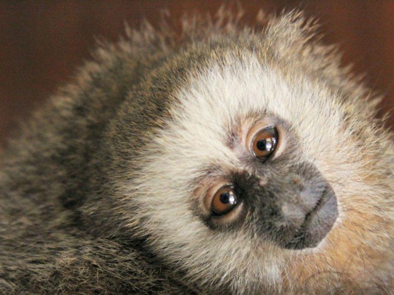 El mono tocón. Foto: Neotropical Primate Conservation.