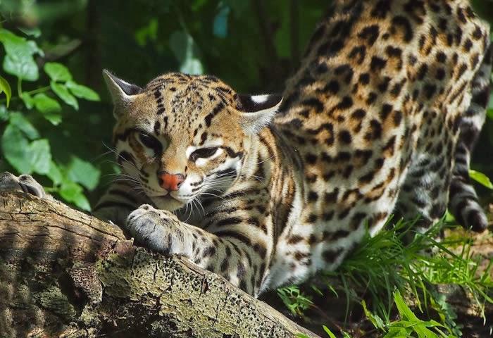 El tigrillo. Foto: Blog La Selva Americana.