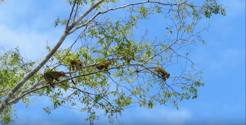 Momento previo a que uno de los monos fraile salte. Imagen: video de Fernando Angulo.