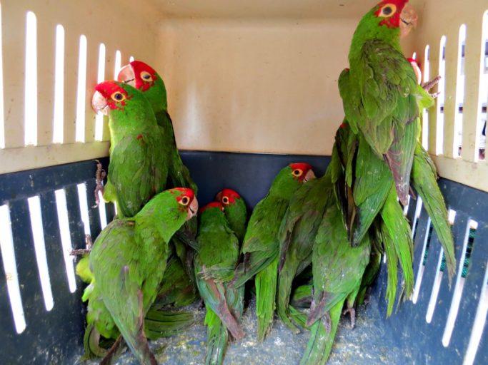 El loro cabeza roja es una de las especies de aves que más se trafica en Perú. Foto: Serfor.