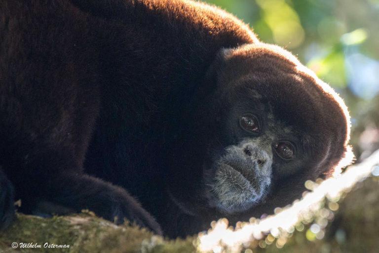 Según la UICN, el mono choro de cola amarilla está en peligro de extinción. Foto: © Wilhelm Osterman.