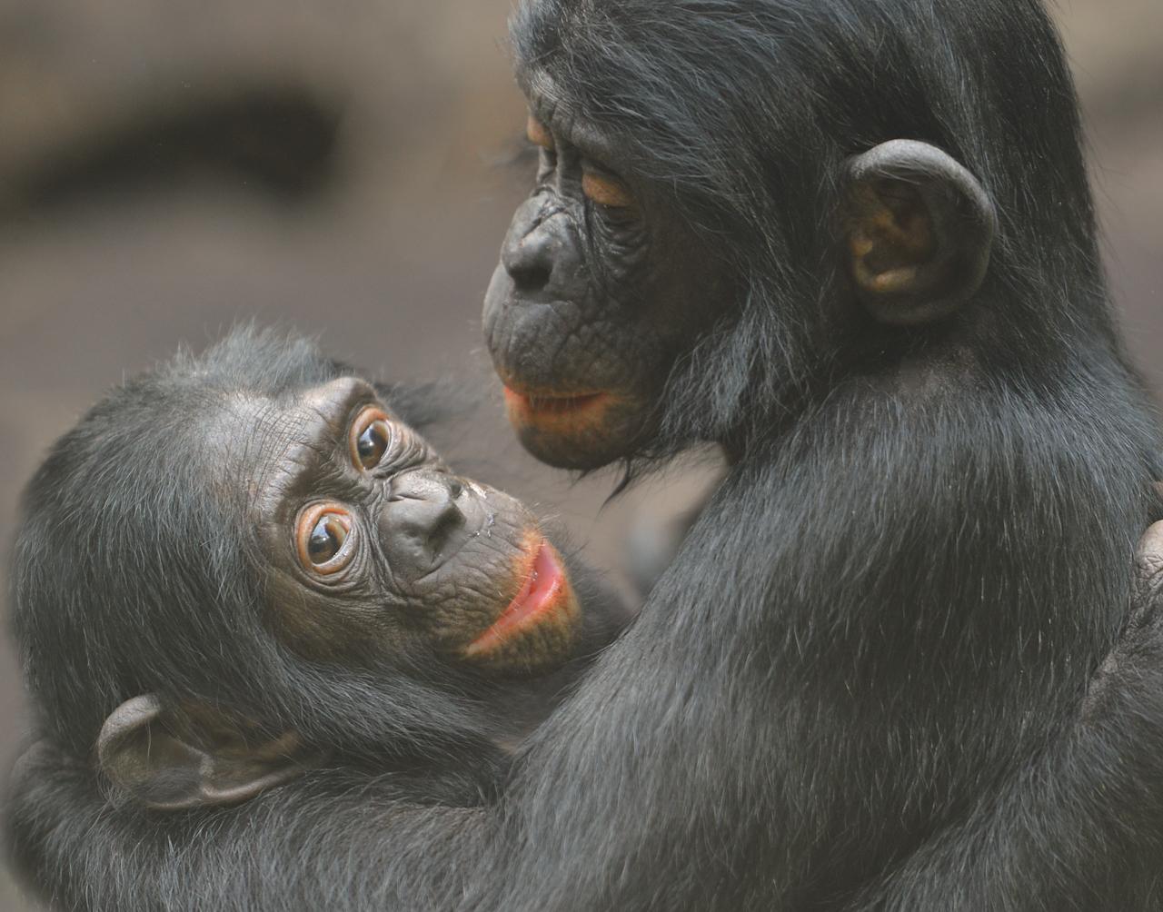 Los bonobos viven en sociedades más pacíficas en comparación con sus dos parientes cercanos, los chimpancés y los humanos. Foto de Jutta Hof, cortesía del Proyecto Bonobo