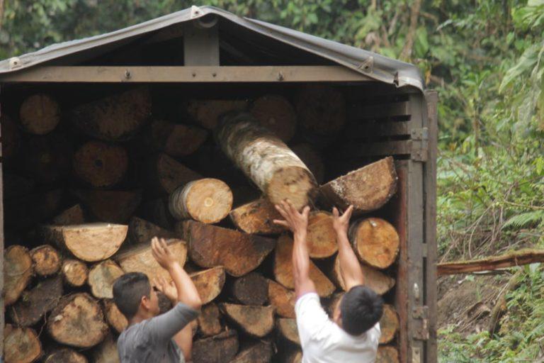 Las partes del tronco y ramas son llevados a aserraderos y centros de acopio. Foto de Omar Coloma.