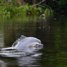 Delfín gris (Sotalia fluviatilis). Expedición 1Río 4Paises, Río Putumayo. Foto: Fernando Trujillo/Fundación Omacha.