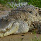 Caimán del Orinoco o caimán llanero en el estado de Apure (Venezuela). Foto: Ariel Espinosa.