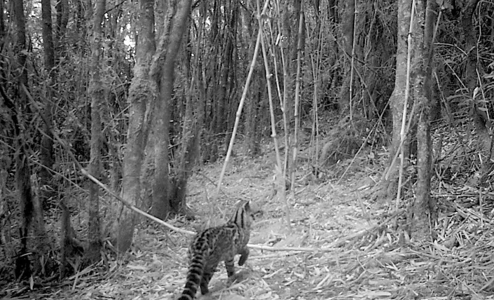 Tigrillo lanudo (Leopardus tigrinus). Foto: Cortesia Procat Colombia.